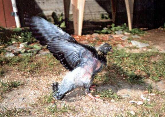 pigeontrytofly